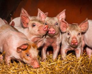 Organic Pig Farm