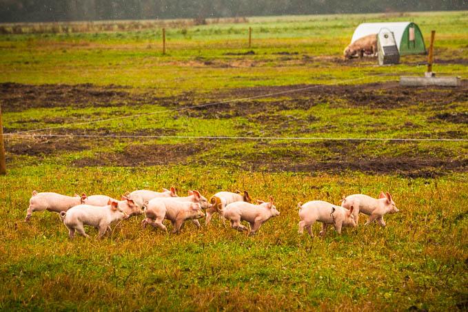 running piglets