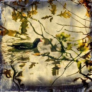 Moorhen Willowpattern
