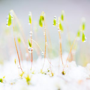 Moss in snow near Leadmine Valley, anglezarke